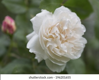 Beautiful single romantic fragrant white rose growing on a bush in the garden, close up view