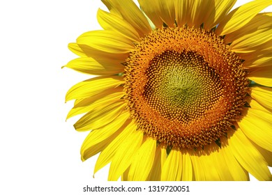 beautiful single sunflower blooming isolated on white background
