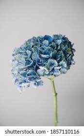 Beautiful single tender blue magical daydream hydrangea flower on the grey wall background, close up view