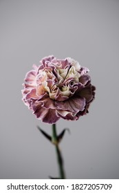 Beautiful single tender dyed purple and yellow carnation flower on the grey wall background, close up view