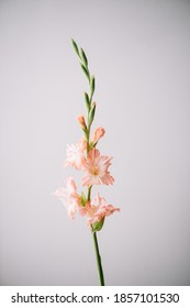Beautiful single tender pink snapdragon flower on the grey wall background, close up view
