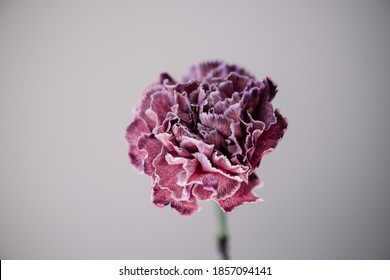 Beautiful single tender purple carnation flower on the grey wall background, close up view