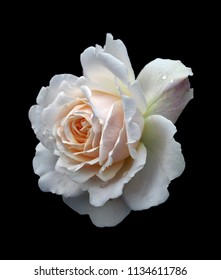 a beautiful single white rose with a pale pink center with raindrops isolated on a black background