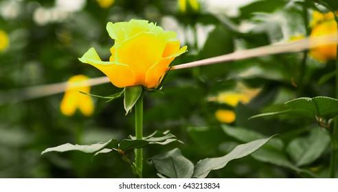 Beautiful single yellow rose flower in garden greenhouse