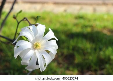 Beautiful single yellow and white flower