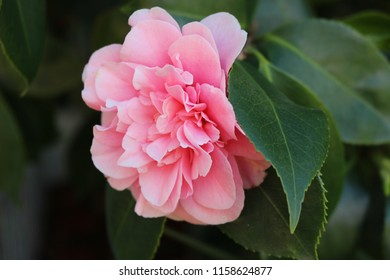 Beautiful singular pink camelia