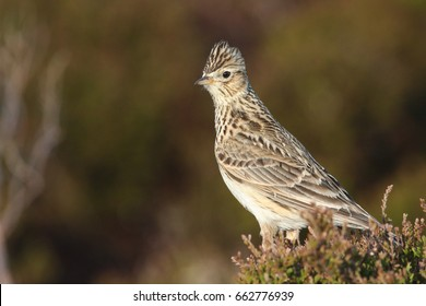 A beautiful Skylark (Alauda arvensis) perched on top of a heather bush in Orkney, Scotland.