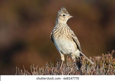 A beautiful Skylark (Alauda arvensis) perched on top of a heather bush .