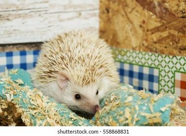beautiful but sleepy hedgehog resting on a blanket in his terrarium