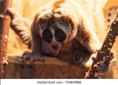 The beautiful slow loris closeup portrait
