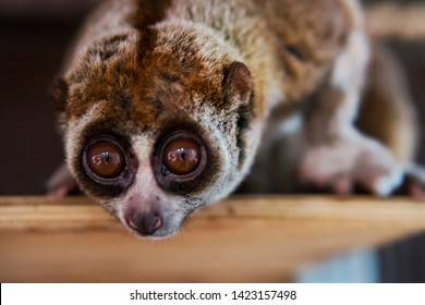 The beautiful Slow Loris. The slow loris is now among the world top 25 most endangered primates its taken from the wild to sell as pets at cruel animal markets
