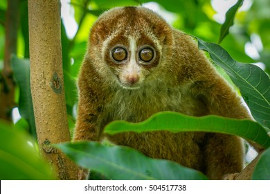 The beautiful Slow Loris on tree with green leaf as background.The slow loris is now among the worldâ??s top 25 most endangered primates & its taken from the wild to sell as pets at cruel animal markets