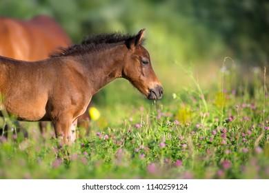 Beautiful small bay foal in spring meadow