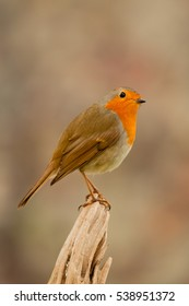 Beautiful small bird with a orange feathers on a nice background