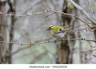 A beautiful small female Common firecrest (Regulus ignicapilla) which is the smallest Italian bird weighing 5 - 7 grams, photographed in the woods of the Ligurian Apennines. - Shutterstock ID 1941245533