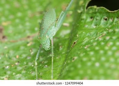 Beautiful small green katydid with prey on green leaf