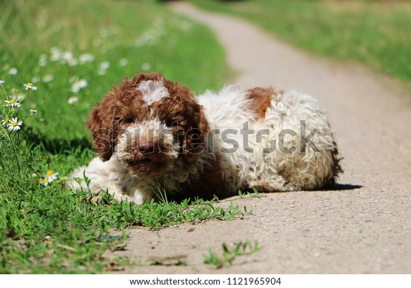 beautiful small italian waterdog puppy is lying on a small way in the garden