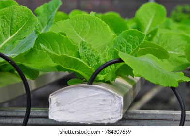 Beautiful small lettuce vegetable in hydroponic farm. Plant in tropical of Thailand.