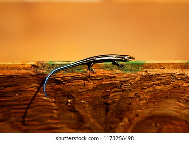 Beautiful Small Lizzard