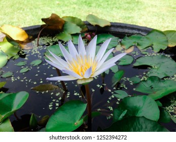 Beautiful Small Lotus Flower Plants Floats On Water