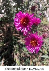 Beautiful small purple flower of astra. Selective focus. Phone foto