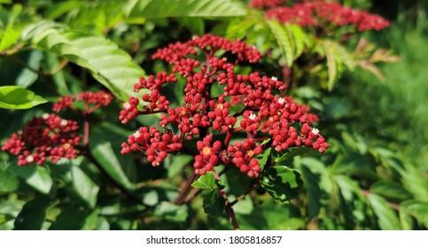 The beautiful small red flowers on shrub of Leea Rubra. People called it as  Red Leea plant or Leea Rubra Blume