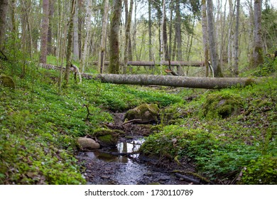 Beautiful small stream in the forest with green mossy rocks, blooming spring flowers and fallen tree trunks across the stream , Latvia