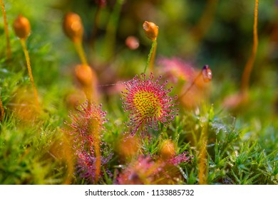 Beautiful small sundews growing in a natural swamp habitat. Spring sceney of wetlands flora in Latvia, Northern Europe.