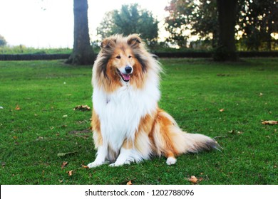A beautiful Smile Sable & White rough collie sitting on the grass in the park in autumn
