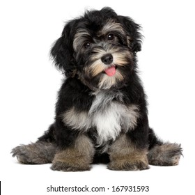 A beautiful smiling black and tan havanese puppy dog is sitting, isolated on white background