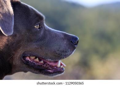 Beautiful smiling dark grey dog looking right