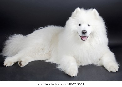 Beautiful smiling Samoyed dog (on a black background)