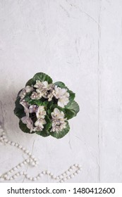 beautiful smoky grey- purple  african violet flower around white background. provence style.