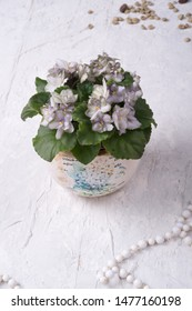 beautiful smoky grey- purple with green edges african violet flower around white background. provence style. close up
