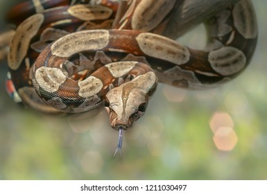 Red Tail Boa Images, Stock Photos & Vectors | Shutterstock