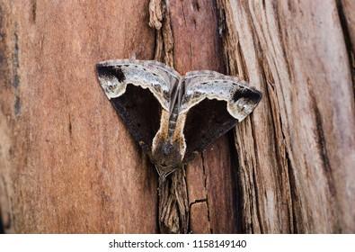 Beautiful Snout moth ( Hypena crassalis ). Sitting on tree bark.