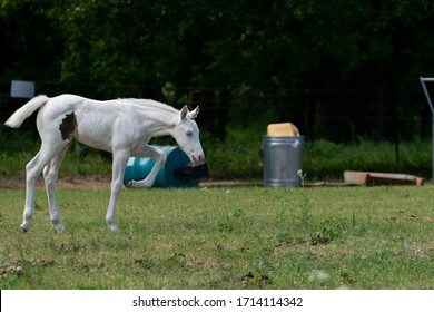 Beautiful, snow white, albino baby horse walking across a ranch pasture with some trees, a barrel, a trash can, and other junk in the background.