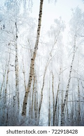 Beautiful snow-covered forest in winter. Branches of fir trees, pines, birches in snow and frost. Freezing day.