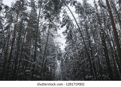 Beautiful snow-covered tall pine forest