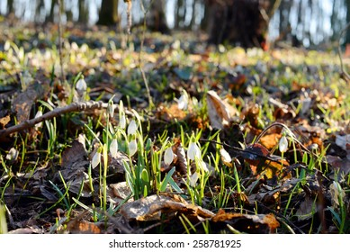 Beautiful snowdrops (Galanthus Nivalis L.) in the forest