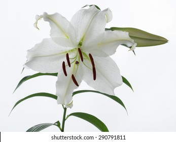 Beautiful snow-white oriental Lily
