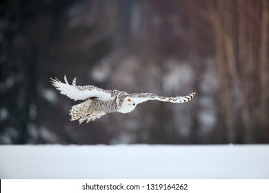 Beautiful Snowy owl Bubo scandiacus, magic white owl with black spots and bright yellow eyes flying in winter countryside covered on snow against blurred spruce forest in background. Low angle photo.