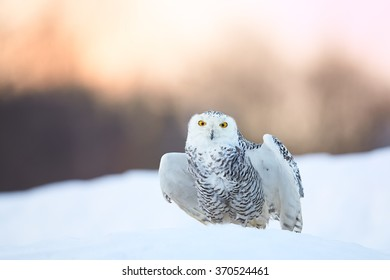 Beautiful Snowy owl Bubo scandiacus, famous white owl with black spots and bright yellow eyes,sitting on snow and preparing for take off, staring directly at camera.Frost winter in the northern tundra