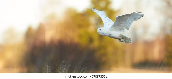 Beautiful Snowy owl Bubo scandiacus, famous white owl with black spots and bright yellow eyes flying in winter countryside lit by evening sun, panoramatic photo, warm colors, blurred background.