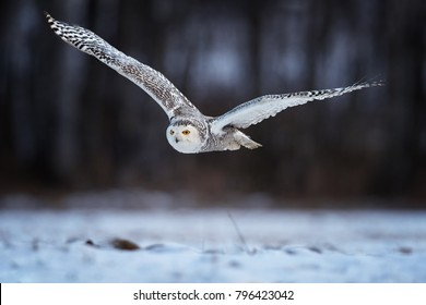 Beautiful Snowy owl Bubo scandiacus, magic white owl with black spots and bright yellow eyes flying in winter countryside covered on snow against blurred birch forest in background. Low angle photo.