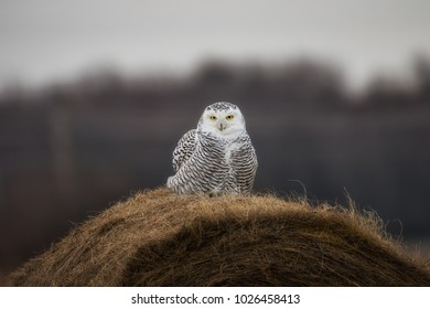 A Beautiful Snowy Owl relaxing on a Hay Bale.