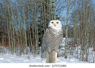 Beautiful Snowy Owl, young adult in winter, sitting on post at edge of aspen forest.