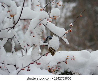 Beautiful snowy scene of bittersweet branches and a gold pine cone covered in snow with a blue jay peeking through.