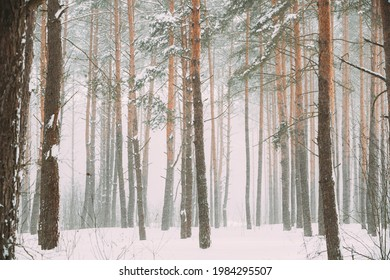 Schöner schneeweißer Wald im Winter Frosttag. Schnee im Winter Frostwald. Schneewetter. Winterschneewald. Blizzard an einem windigen Tag.
