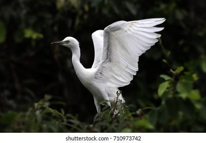 Beautiful snowy white waterbird open wings